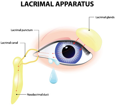 Diagram: lacrimal apparatus - the physiological system containing structures for tear production and drainage